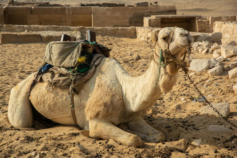 Camello egipto
